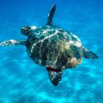 Caretta caretta   Loggerhead turtle swimming in open sea.   Zákinthos, Langana Bay, Greece   Project numbers: 9E0103, GR0017, GR0043